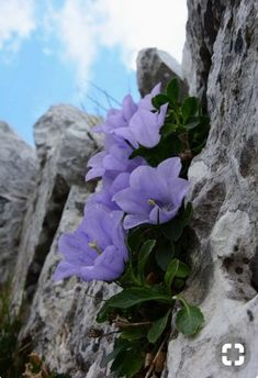 flowers on rock Rock Flowers, Exotic Flowers, Purple Flowers, Wild Flowers, Alpine Flowers, Alpine Plants, Very Beautiful Flowers, Amazing Flowers, Bloom Where Youre Planted