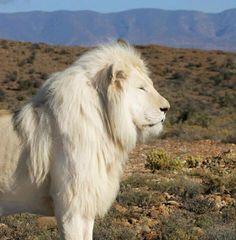 Rare white lion.