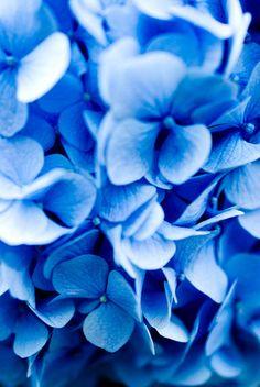 Hydrangea petals - so soft, so blue! Love Flowers, My Flower, Flower Power, Beautiful Flowers, Wedding Flowers, Wedding Blue, Wedding Bouquets, Wedding Stuff, Love Blue