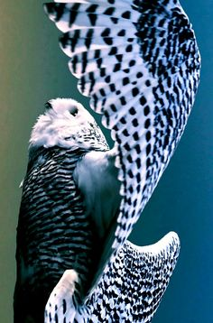 Owls have to be some of the most exquisite birds!  I've become fascinated by them of late.