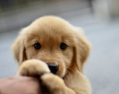 Cute golden Retriever Puppy Dog giving a Hi-Five