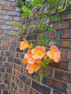 능소화 Cool Wallpaper, Creepers, Campsis, Flower Wall, Amazing Gardens, Dahlia, Painting Inspiration, Flower Power, Planting Flowers
