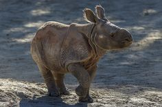 Rhino Calf by Official San Diego Zoo, via Flickr