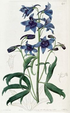 botanical drawing delphinium colorado - Google Search