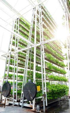 Des légumes sur les toits..... Le dispositif, créé par un inventeur local, assure une rotation trois fois par jour pour permettre  aux légumes de bénéficier de deux heures d'ensoleillement quotidien.