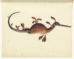 A r q u i l a t r í a : Foto The Leafy sea dragon (actually Weedy seadragon) Sketchbook of fishes by William Buelow Gould, 1832