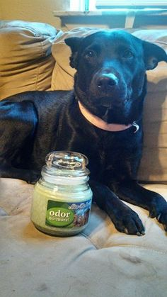 Sadie Sadie, Pitbulls, Candles, Pets, Animals, Fragrance, Animales, Animaux, Pitt Bulls