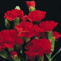 Carnation (Dianthus Caryophyllus Grenadin Scarlet) - There are so many uses for this attractive, sweet-scented Carnation, so start some Dianthus seeds and enjoy these lovely flowers! Grenadin Carnatio