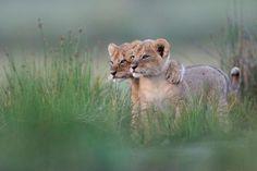 Pals, lion cubs photographed by Gregoire Bouguereau - Pixdaus