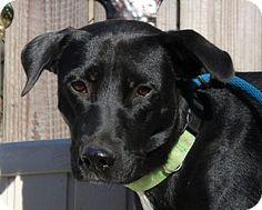 Yardley, PA - Labrador Retriever Mix. Meet Molly, a dog for adoption. http://www.adoptapet.com/pet/17096532-yardley-pennsylvania-labrador-retriever-mix