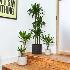 Corn plant — Plants   Patch Best Indoor Plants, Outdoor Plants, Types Of Plants, All Plants, Dracena Plant, Year Round Flowers, Corn Plant, Crassula Ovata, Perfect Plants