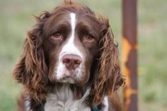 Bob is an adopted English Springer Spaniel Dog in Huron, SD. Bob was found west of town and no owner was located. He is about 3-4 yrs old and appears to be purebred. Bob is good with children and is v...
