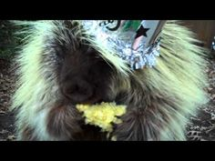 """""""Teddy"""" the porcupine has WAY TOO MUCH corn on New Year's Eve.  Who needs champagne?!"""