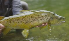 New Zealand trout fishing is on every fly anglers bucket list. Check out this gem from Gin-Clear media. Trout Fishing, Fly Fishing, Fishing Videos, Gin, New Zealand, Bucket, The Incredibles, Opportunity, Backpack