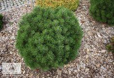 Pinus mugo 'Little Lady' (P. mugo 'Fructata') - Sosna górska 'Little Lady' ('Fructata')