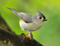 The Tufted Titmouse's gray-crested head and large black eyes on a pale face give this familiar bird a friendly look. Learn more about it here!