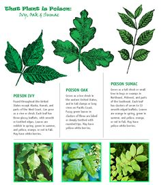 how to spot Poison Ivy, Oak & Sumac