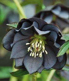 Onyx Odyssey Hellebore. Enjoy the Hellebores in my novel in In Bloom: https://sites.google.com/site/sophiechalmersbooks/home
