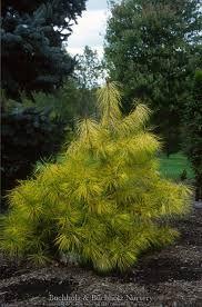 Pinus densiflora ' Cesarini's Variegated '