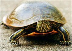 Google Image Result for http://animal.discovery.com/reptiles/turtle/pictures/turtle-picture.jpg