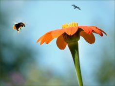 Hummelflug zur Blüte - Jahreszeiten - Galerie - Community