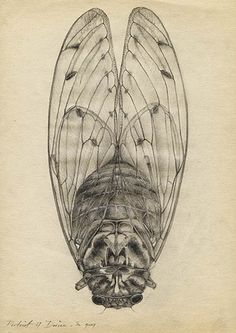 cicada drawing - Google Search