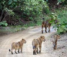 lions of the girnar