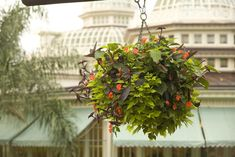 Disney's Hanging Baskets - Southern Living A Walt Disney World expert shows us the secrets to beautiful hanging baskets. Container Gardening Vegetables, Container Plants, Container Flowers, Hanging Flower Baskets, Hanging Plants, Chenille Plant, Ivy Geraniums, Different Plants, Garden Seeds