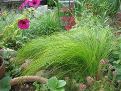 Trawy ozdobne : Carex sabynensis