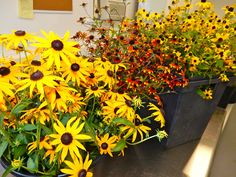 Buckets of various varieties of rudbeckia grown at Fernrock Farm.