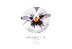 Viola Flower / Stemorsblomst. Photo Edit  A4 Digital Download