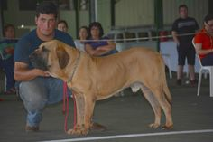 For decades, critics contend, the Fila Brasileiro has been crossed with Great Danes and Neapolitan Mastiffs, in effect ruining the breed. Modern Molosser  |  www.modernmolosser.com