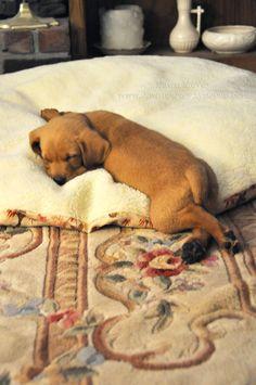 Super cute sleepy puppy