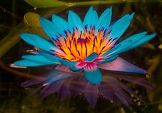 Google Image Result for http://maxatwood.files.wordpress.com/2010/06/water_lilies_012.jpg