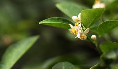 Lime and calamondin flowers look so alike. But that's not their only similarity. Along with other citrus fruits, they have a lot of uses in the house and garden.