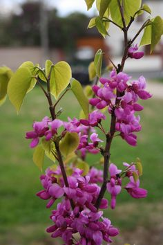 Plant of the Week 17 - Cercis chinensis Avondale. Less well known than Cercis siliquastrum, this tree produces similar, pea-shaped blossoms directly from the wood of the branches. This species flowers a little earlier than C,siliquastrum and have flowers which are more brightly coloured. This photograph comes from a series in the Gardener in France blog, where you will also find a picture of the Judas Tree.