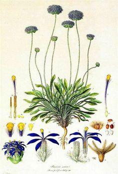 illustration: Brunonia australis
