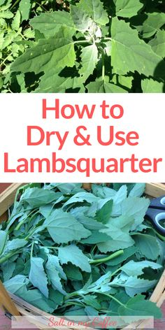 """I love cooking with lambsquarters - there are SO many ways to enjoy this incredibly nutritious """"weed"""". You can even dry it and use it in wonderful seasonings. These tips will get you started making use of lambsquarter, both fresh and dried! Edible Wild Plants, Wild Edibles, Growing Herbs, Medicinal Plants, Natural Healing, Gardening Tips, Just In Case, Herbalism, Abundance"""