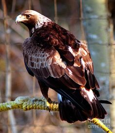 The golden eagle a.k.a. king of the birds, also lives in the taiga along with bald eagle, raven, crow. Once researchers found an eagle nest that was 10 feet wide, 20 feet deep, and weighed about 2 tons!