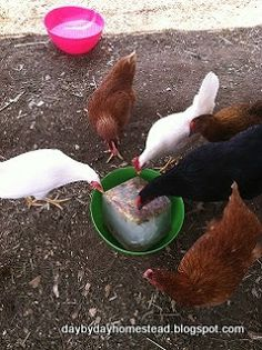 Helping chickens survive the heat of summer.