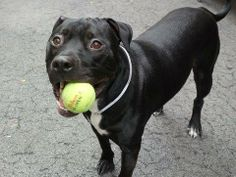 TO BE DESTROYED 6/1/14 Manhattan Center -P  My name is SHADY. My Animal ID # is A1000601. I am a neutered male black and white pit bull and labrador retr mix. The shelter thinks I am about 2 YEARS old.  I came in the shelter as a OWNER SUR on 05/21/2014 from NY 10033, owner surrender reason stated was NO TIME.