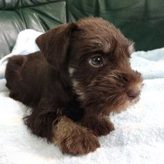 Chocolate MINIATURE SCHNAUZER!!! Been wanting one of these!