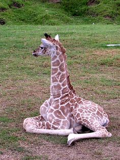 Baby Giraffe - he's about 2 weeks old.