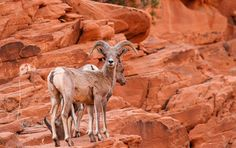Desert Big Horn Sheep. Valley Of Fire State Park. Overton, Nevada (pinned by haw-creek.com)