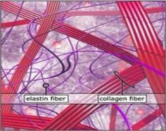 Collagen and Elastin Fibers
