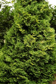 Holmstrup Eastern Arborvitae - Slow grower to 5-7 ft tall, 2-3 ft. wide; part/full sun