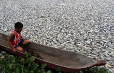 Dead fish float on the surface of the Maninjau lake, Indonesia in March 2014
