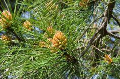 Flor de pino piñonero