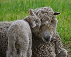 A Williamsburg ewe & her lamb-a promise of new life-Happy Easter