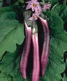 t is groente:-) Chinese Eggplant from Bonnie Plants. Cook it with the non-bitter skin intact! Growing Veggies, Planting Vegetables, Fruits And Veggies, Fruit Garden, Edible Garden, Growing Eggplant, Drought Tolerant Trees, Chinese Eggplant, Trees And Shrubs